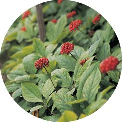 인삼꽃 이미지